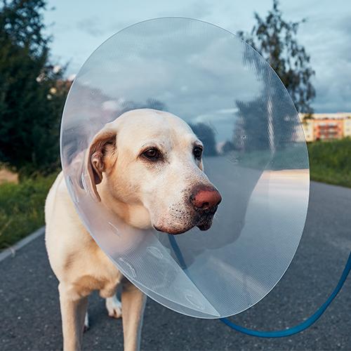 Cirurgia de castração de cachorro