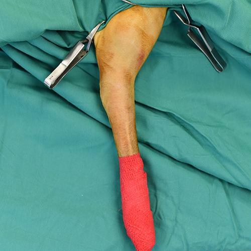 Cirurgia ortopedica veterinária
